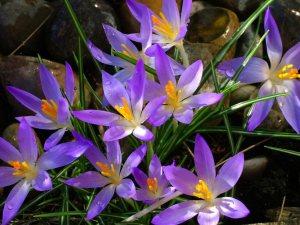 Spring Crocuses by Joan Walker (Northumberland Facebook Page)